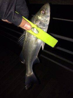 大阪南港 釣り納めのメバリングで満足釣行