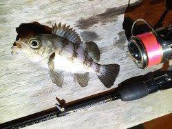 深日漁港 釣納めのメバリングは怒涛の入れ食いタイムあり