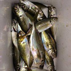大阪南港アジング 豆&小アジのアタリ多く高活性、ジャンボも釣れました