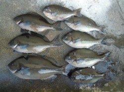 湯浅の磯・カルモ島 フカセ釣りでのグレ釣果