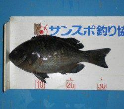 音海磯ではグレ33.2cm頭に8匹の釣果 水温も下がりグレの好シーズン到来