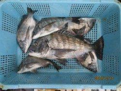 京都田井チヌかかり釣り釣果 50cmの良型釣れています