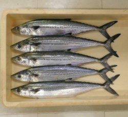 佐波賀周辺でサゴシの釣果〜天候が悪くても舞鶴湾内は釣り可能です
