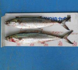 佐波賀周辺 ライトジギングでサゴシ2匹の釣果