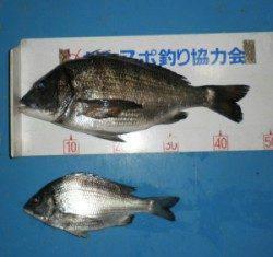 青井イカダ カキをエサにチヌ45.8cmを頭に2匹の釣果