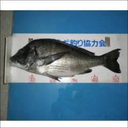 青井イカダでチヌ47.4cm、52.3cm、54.5cm 良型がそろいました!!