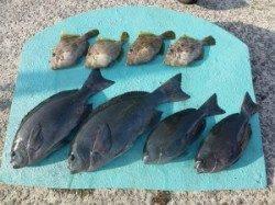 ヒラバエ フカセでグレ・カワハギの釣果