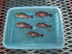 須磨海づり公園 落とし込みでガシラの釣果