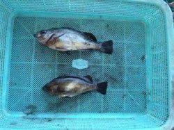 須磨海づり公園、シラサエビでメバル釣り