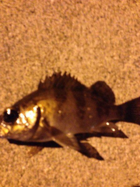 初メバル釣り