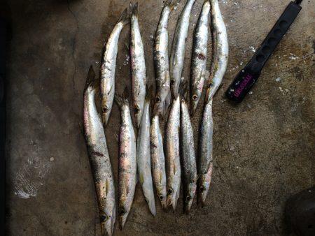 勝浦港でカマスよく釣れてます