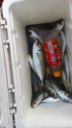 岸和田一文字・旧の赤灯台で28センチまでのアジ釣れています