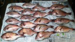 マリーナシティ海洋釣り堀 ミニキビナゴ&アオイソメでマダイ好釣