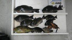 袋地磯でフカセ釣りにてグレ42.5cm