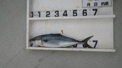 串本大島にてルアー釣り、メジロ釣果