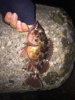 仕事初め後の釣り初めへ出陣 貝塚のガシリングで抱卵ガシラ&ミニメバル