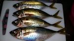 文里湾でサビキウキ釣り釣果 サイズよし