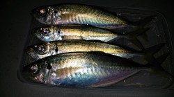 文里湾でサビキ釣り 人多し!