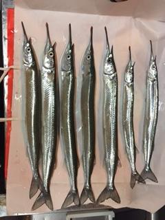舞子にてサヨリのウキ釣り 群れは大きく高活性です