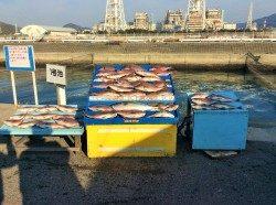マリーナシティ海上釣堀 少人数貸切にてマダイ38尾とメジロ