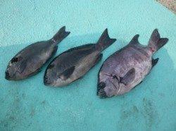 ヒラバエでのカゴ釣り釣果 グレ・ウマヅラ・カワハギ