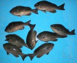 日引磯でグレ33cmを頭に9匹の釣果