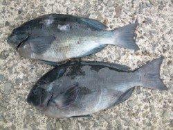 沖一文字にてフカセでグレ40cm、カゴ釣りでもグレの釣果ありました