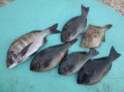 磯のフカセ釣果 ケムリ島、ヒラバエにて良型チヌとグレ
