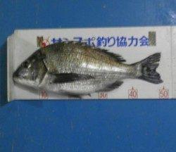 青井イカダ、上佐波賀イカダで良型チヌがあがりました