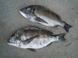 カルモ島など湯浅の磯でのチヌ・グレ釣果