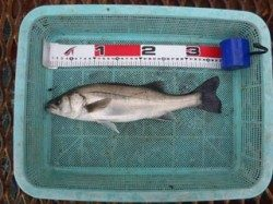 須磨海づり公園 エビ撒きウキ釣りでセイゴの釣果