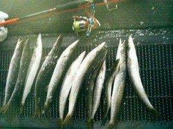 勝浦港でデカいカマスが釣れてマス