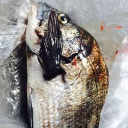 堺漁港 のっこみチヌの釣果