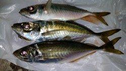 文里湾 カゴ釣りでのアジ釣果