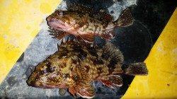 文里湾のカゴ釣りでガシラ