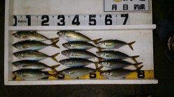 文里湾 朝まづめ迄のカゴ釣りでマアジ好調でした
