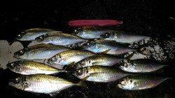 堅田港 カゴ釣りで良型アジ狙えます