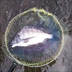 日引磯でチヌ5匹の釣果