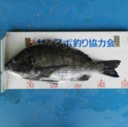 日引磯にてチヌ48.5cmを頭に6匹の釣果