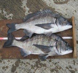 日引磯でチヌ51cmを頭に2匹の釣果
