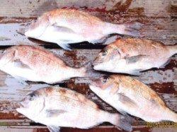 田井の海上釣り堀のマダイ釣果、エサはササミを使用