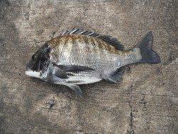 和歌山北港魚つり公園でのチヌ釣果