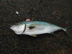 和歌山北港魚つり公園 メジロ61cmの釣果