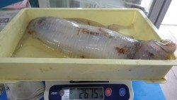 天神崎 アオリイカの2675g釣果