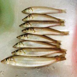 えびす漁港にてキスの釣果