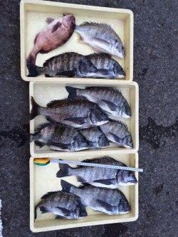 マリーナシティ海釣り公園 チヌののっこみ始まりました