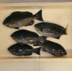 日引磯でグレ5匹の釣果