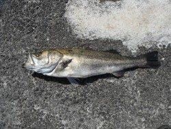 和歌山北港魚つり公園にてヒラメ・スズキの釣果