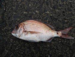 和歌山北港魚つり公園 ヒラメ49cm・マダイ40cmの釣果