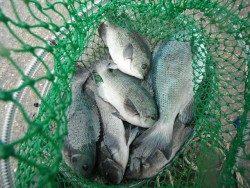 和歌山北港魚つり公園 グレがよく釣れました